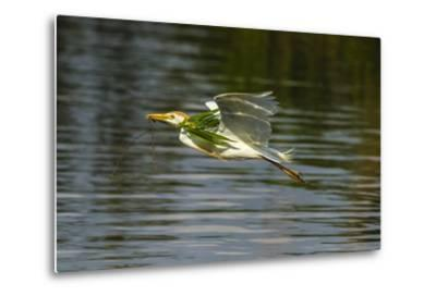Louisiana, Jefferson Island. Cattle Egret Flying with Branch for Nest-Jaynes Gallery-Metal Print