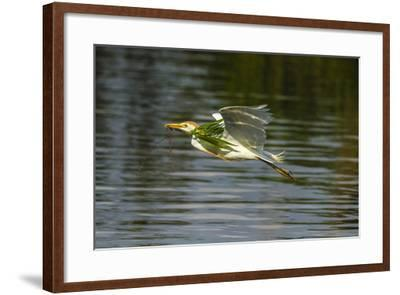 Louisiana, Jefferson Island. Cattle Egret Flying with Branch for Nest-Jaynes Gallery-Framed Photographic Print