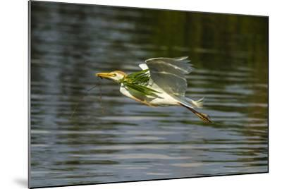 Louisiana, Jefferson Island. Cattle Egret Flying with Branch for Nest-Jaynes Gallery-Mounted Photographic Print