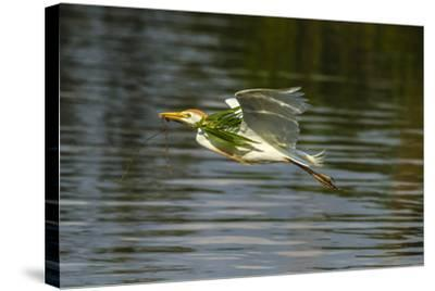 Louisiana, Jefferson Island. Cattle Egret Flying with Branch for Nest-Jaynes Gallery-Stretched Canvas Print