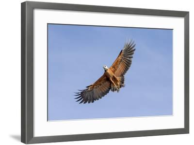 Brazil, Mato Grosso, the Pantanal. Black-Collared Hawk in Flight-Ellen Goff-Framed Photographic Print
