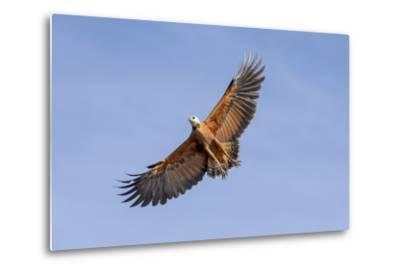 Brazil, Mato Grosso, the Pantanal. Black-Collared Hawk in Flight-Ellen Goff-Metal Print