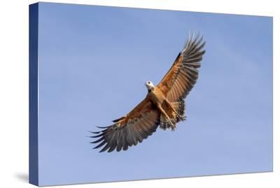 Brazil, Mato Grosso, the Pantanal. Black-Collared Hawk in Flight-Ellen Goff-Stretched Canvas Print