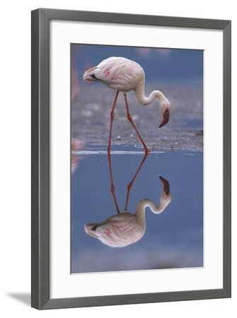 Lesser Flamingo and its Reflection, Kenya, Africa-Tim Fitzharris-Framed Photographic Print