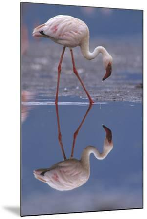 Lesser Flamingo and its Reflection, Kenya, Africa-Tim Fitzharris-Mounted Photographic Print