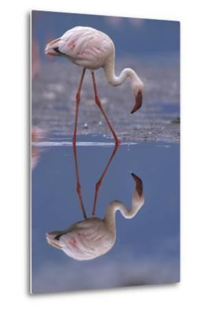 Lesser Flamingo and its Reflection, Kenya, Africa-Tim Fitzharris-Metal Print