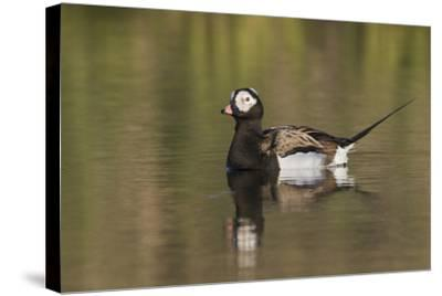Long-Tailed Duck, Oldsquaw-Ken Archer-Stretched Canvas Print