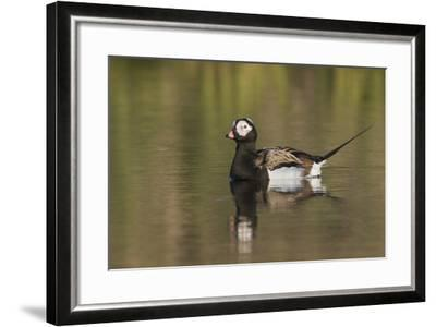 Long-Tailed Duck, Oldsquaw-Ken Archer-Framed Photographic Print