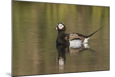 Long-Tailed Duck, Oldsquaw-Ken Archer-Mounted Photographic Print