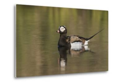 Long-Tailed Duck, Oldsquaw-Ken Archer-Metal Print