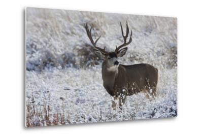 Mule Deer Buck, Late Autumn Snow-Ken Archer-Metal Print