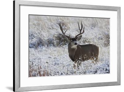 Mule Deer Buck, Late Autumn Snow-Ken Archer-Framed Photographic Print