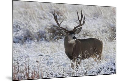 Mule Deer Buck, Late Autumn Snow-Ken Archer-Mounted Photographic Print