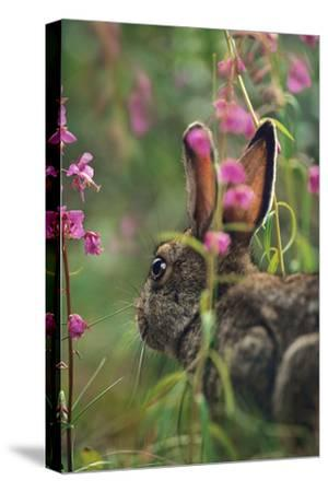 Snowshoe Hare, Alaska, Usa-Tim Fitzharris-Stretched Canvas Print