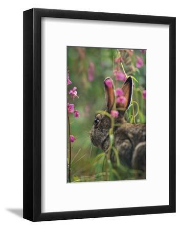 Snowshoe Hare, Alaska, Usa-Tim Fitzharris-Framed Photographic Print