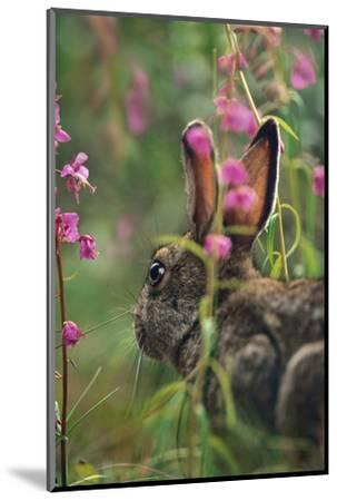 Snowshoe Hare, Alaska, Usa-Tim Fitzharris-Mounted Photographic Print