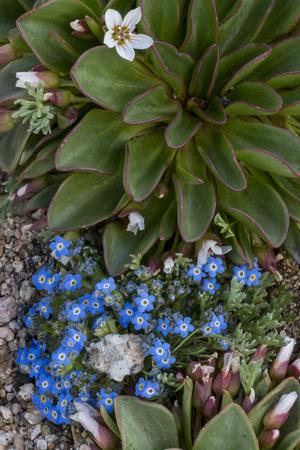 Colorado, American Basin, Alpine Spring Beauty and Alpine Forget-Me -Not-Judith Zimmerman-Framed Photographic Print