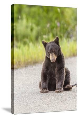 Glacier National Park, the Loser of Bear-Truck Collision on the Camas Road-Michael Qualls-Stretched Canvas Print