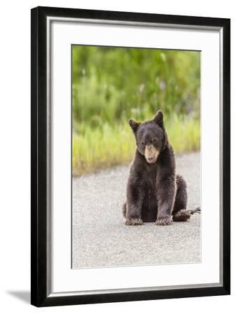 Glacier National Park, the Loser of Bear-Truck Collision on the Camas Road-Michael Qualls-Framed Photographic Print