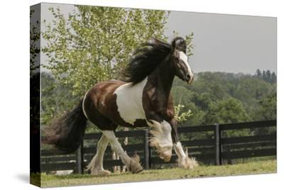 Gypsy Vanner Horse Running, Crestwood, Kentucky-Adam Jones-Stretched Canvas Print