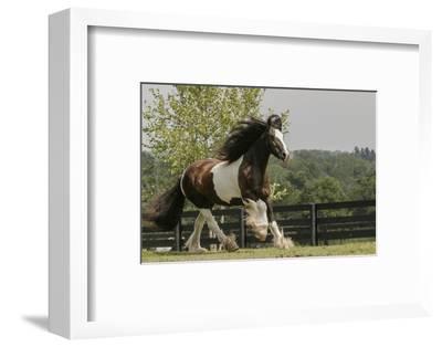 Gypsy Vanner Horse Running, Crestwood, Kentucky-Adam Jones-Framed Photographic Print