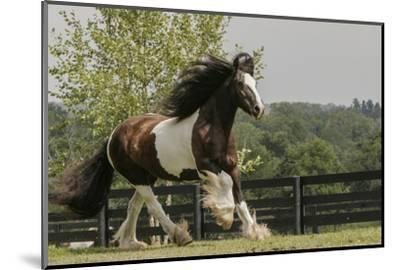 Gypsy Vanner Horse Running, Crestwood, Kentucky-Adam Jones-Mounted Photographic Print