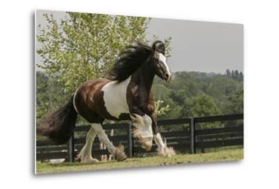 Gypsy Vanner Horse Running, Crestwood, Kentucky-Adam Jones-Metal Print