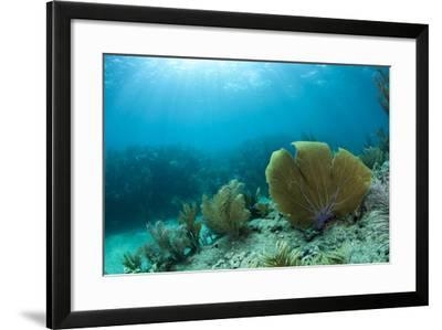 A Purple Sea Fan Sways in the Clear Blue Water of Looe Key Reef Off of Ramrod Key-James White-Framed Photographic Print