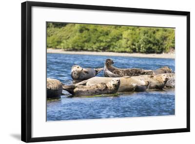 Washington State, Poulsbo. Harbor Seal Haul Out. Liberty Bay-Trish Drury-Framed Photographic Print