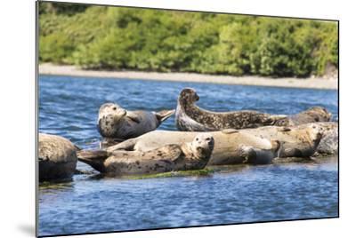 Washington State, Poulsbo. Harbor Seal Haul Out. Liberty Bay-Trish Drury-Mounted Photographic Print