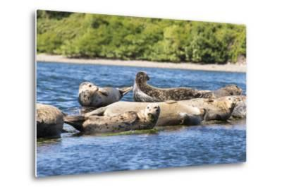 Washington State, Poulsbo. Harbor Seal Haul Out. Liberty Bay-Trish Drury-Metal Print