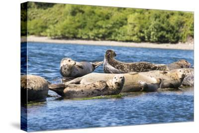 Washington State, Poulsbo. Harbor Seal Haul Out. Liberty Bay-Trish Drury-Stretched Canvas Print