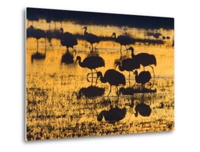 Sandhill Cranes in a Wetland at Sunset, New Mexico Usa-Tim Fitzharris-Metal Print
