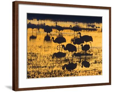 Sandhill Cranes in a Wetland at Sunset, New Mexico Usa-Tim Fitzharris-Framed Photographic Print