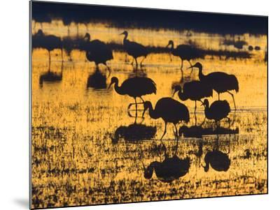 Sandhill Cranes in a Wetland at Sunset, New Mexico Usa-Tim Fitzharris-Mounted Photographic Print