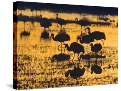 Sandhill Cranes in a Wetland at Sunset, New Mexico Usa-Tim Fitzharris-Stretched Canvas Print