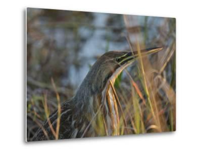 American Bittern, Viera Wetlands, Florida, Usa-Maresa Pryor-Metal Print