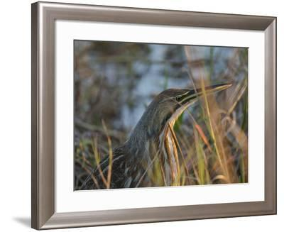 American Bittern, Viera Wetlands, Florida, Usa-Maresa Pryor-Framed Photographic Print