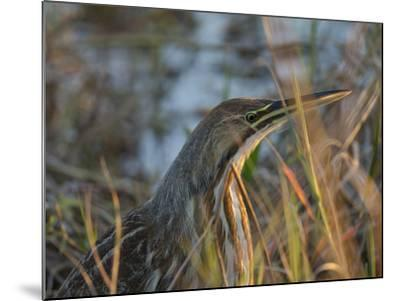 American Bittern, Viera Wetlands, Florida, Usa-Maresa Pryor-Mounted Photographic Print
