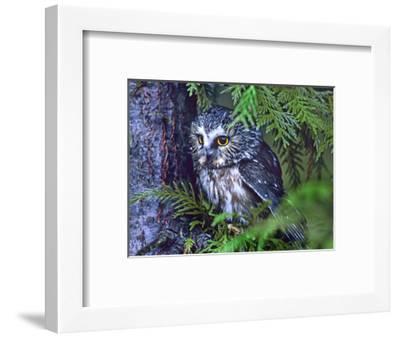 Northern Saw-Whet Owl, British Columbia, Canada-Tim Fitzharris-Framed Photographic Print