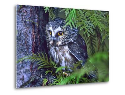 Northern Saw-Whet Owl, British Columbia, Canada-Tim Fitzharris-Metal Print