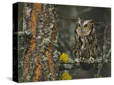 Western Screech-Owl Hanging Out in a Tree, British Columbia, Canada-Tim Fitzharris-Stretched Canvas Print