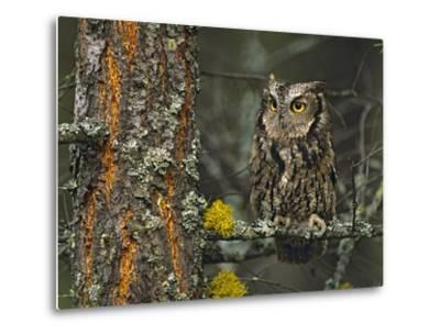 Western Screech-Owl Hanging Out in a Tree, British Columbia, Canada-Tim Fitzharris-Metal Print