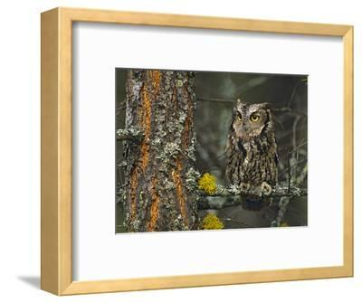 Western Screech-Owl Hanging Out in a Tree, British Columbia, Canada-Tim Fitzharris-Framed Photographic Print