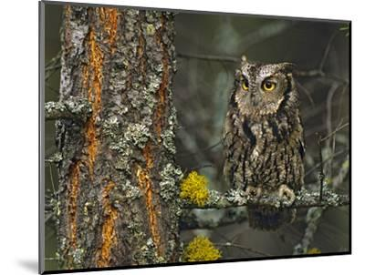 Western Screech-Owl Hanging Out in a Tree, British Columbia, Canada-Tim Fitzharris-Mounted Photographic Print