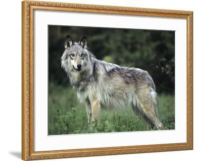 Gray Wolf in Spring, Montana-Tim Fitzharris-Framed Photographic Print