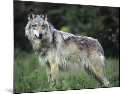 Gray Wolf in Spring, Montana-Tim Fitzharris-Mounted Photographic Print