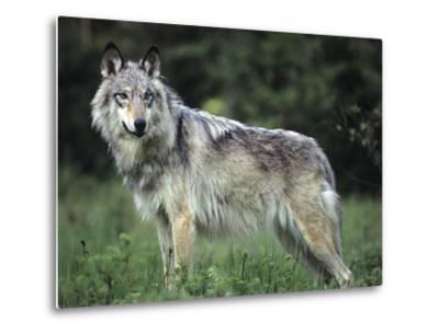 Gray Wolf in Spring, Montana-Tim Fitzharris-Metal Print