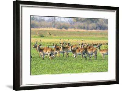 Botswana. Okavango Delta. Khwai Concession. Red Lechwe Herd-Inger Hogstrom-Framed Photographic Print
