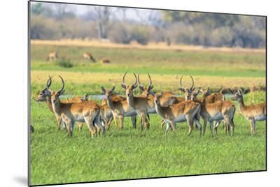 Botswana. Okavango Delta. Khwai Concession. Red Lechwe Herd-Inger Hogstrom-Mounted Photographic Print